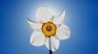 Flower-Vase-Narcissus-Yellow-Flowers-Hd-Wallpaper